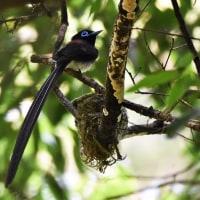 6/20巣でメスを待つ三光鳥オス。