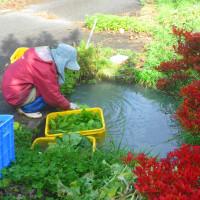 冷たき手 色ずく秋の お菜洗い (菜人)