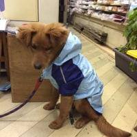 愛犬 トレール 雨の散歩は・・・・・