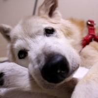 愛犬まるの飼主の涙のスイッチ