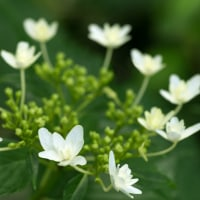 紫陽花の季節(Ⅶ)