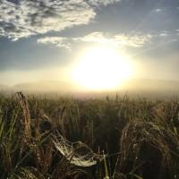 赤米(古代米)からの朝陽風景