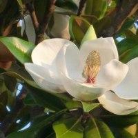 ふわり優しく『合歓の木』が揺れて