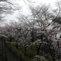 栃木市 大平山の桜