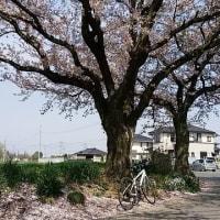 桜三昧・菜の花三昧。
