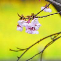 桜ともくれん