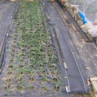 玉ねぎ栽培2016年育苗を終わらせ植付した、連作障害対策も