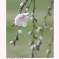 ゲンペイシダレモモ 〈源平枝垂れ桃〉