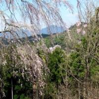 奈良よしのの桜(2)