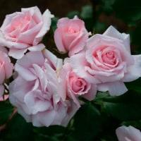 5月18日の午後の、北公園のバラ