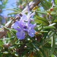 春の庭・・・ローズマリーの花が咲いています