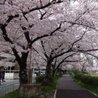 天白川緑道の桜も満開