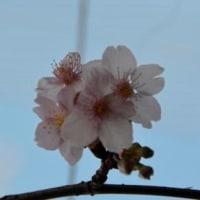 函館匂桜 2.24・開花17日目