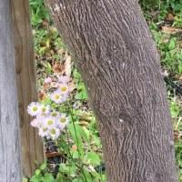 みんなが知ってる春紫苑