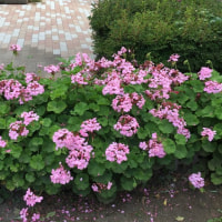 あさひ公園夏花壇にしました