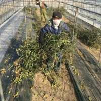 ミニトマト収穫終了!