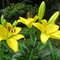 楽しい園芸 ユリの花