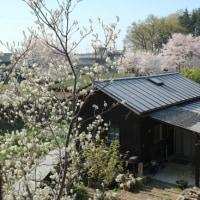 桜とジューンベリーと。