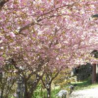 2017達身寺・八重桜とトリ御衣黄04/25
