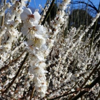 東山動植物園の梅、一週間前の^^;