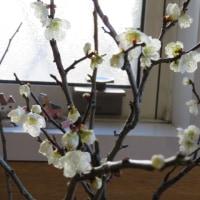 万作(まんさく)、が咲いている。 県立三木山森林公園