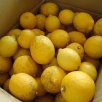 '17 レモン仕事