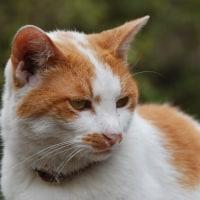 品川東大井 茶トラ白猫