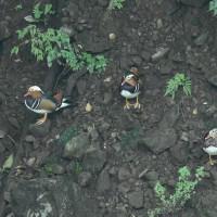 オシドリが複数羽