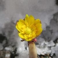 福寿草と君子蘭