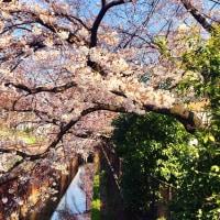 お花見の隠れた名所、武蔵関。