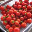 トマトの大量収穫です。
