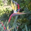 マンデラさんの愛した黄色極楽鳥花(Yellow Strelitzia)