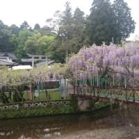 大分市の西寒多神社は春のふじ祭り真っ最中