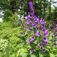 旗竿桔梗、やっと辿り付いた花の日本名