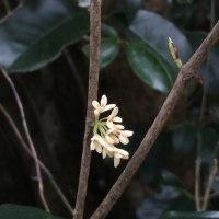 四季咲き銀木犀が咲き始めていい香り