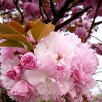 下野国分寺尼寺の八重桜