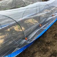 《 つぼみ菜 》 畑に直接植え付けてみました \(^o^)/