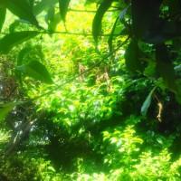猛暑の上に大密林とは