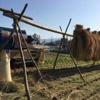 水稲の脱穀