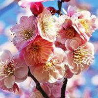 府中の森の梅など今咲いている花たち