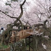 信州高遠城跡の桜