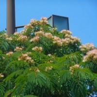 合歓の木に花が・・・
