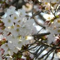 川の土手でサクラが咲き始めた