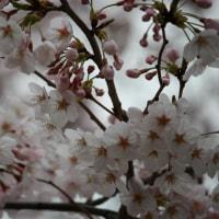 カメラ)桜 2015