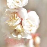 春の香り 梅林