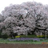 梅が咲いた 桜も3分咲
