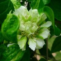 蕾から花へ (クレマチス八重咲き)