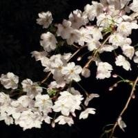 よっちゃんと夜桜