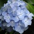 いざ!紫陽花の鎌倉