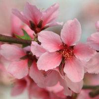 桃の節句 ひなまつり